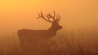 Sunrise stag