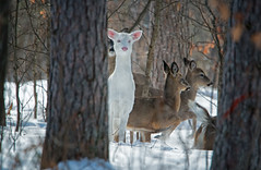 FirstAlbino (jmishefske) Tags: protected airport nikon dnr 2015 junction february buck albino d800e eyes piebald antler wildlife winter ghost pink wisconsin nose doe boulder whitetail boulderjunction deer white