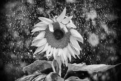 Sunflower in the rain (rvrossel) Tags: sunflower sunshower rain flowers flowersinblackandwhite depthoffield bokeh plants flowerscanbeblackandwhite fujixseries fujixt10 helios44m2 beautiful nature plantsinblackandwhite bw helios44m258mmf2
