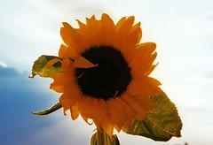 Sonnenblume (Turikan) Tags: minolta 200 x700 rossmann