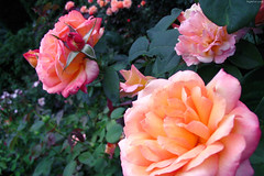 "Pink & Orange roses • <a style=""font-size:0.8em;"" href=""http://www.flickr.com/photos/34843984@N07/14924784414/"" target=""_blank"">View on Flickr</a>"