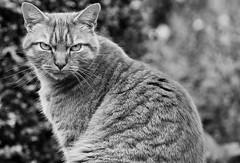 Sir Cat in B&W (heiko.moser) Tags: bw cat natur sw katze schwarzweiss nero blackwihte