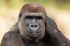 2014-09-15-14h02m18.272P1939 (A.J. Haverkamp) Tags: berlin germany zoo gorilla bibi tiergarten berlijn dierentuin westelijkelaaglandgorilla pobapeldoornthenetherlands httpwwwzooberlinde dob25021997 canonef500mmf4lisiiusmlens
