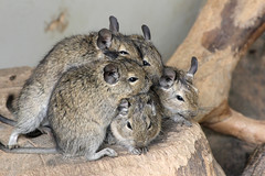 Pile of degus, Lakeland Wildlife Oasis, near Milnthorpe, Cumbria, UK (Ministry) Tags: uk zoo rodent cumbria stump degu hale huddle degus lakelandwildlifeoasis milnthorpe octodon brushtailedrat caviomorph