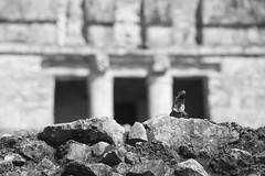 El rey lagarto (ramosblancor) Tags: naturaleza white black history blanco archaeology nature mxico ruins y wildlife negro tulum lizard human ruinas iguana animales habitat lagarto historia arqueologa garrobo