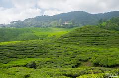 Sungai Palas BOH Tea Plantation (dylannlaw) Tags: trip highlands tea getaway cameron plantation fujifilm boh sungai palas xt1