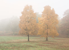 Sister (Chancy Rendezvous) Tags: sister tree foliage fall autumn fog foggy mist morning pentax k3 davelawler blurgasm blurgasmcom davidclawler chancyrendezvous