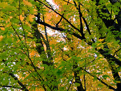 "Dense Green Maple leaves with Yellow behind • <a style=""font-size:0.8em;"" href=""http://www.flickr.com/photos/34843984@N07/15238584480/"" target=""_blank"">View on Flickr</a>"
