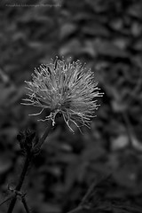 Mimosa Flower - B/W View