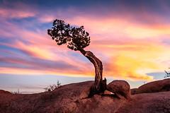 Lone Juniper (davecurry8) Tags: california sunset nationalpark desert joshuatree mojave juniper