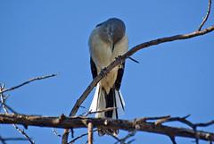 Northern Mockingbird, Morning Prayers (maccandace) Tags: praying northernmockingbird mockingbird mock
