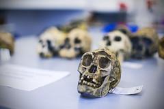20141005_F0001: The skull of a hobbit (wfxue) Tags: table skulls skull evolution science homo species bone hobbit biology extinct anthropology homofloresiensis lb1 hominini