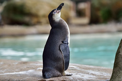 Looking for inspiration (sgoldswo) Tags: penguin londonzoo nikond810 nikon80400mmf4556gvrlens