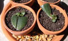 (heatherdawnplants) Tags: plants jadeplant succulents crassula houseplants ovata propagation