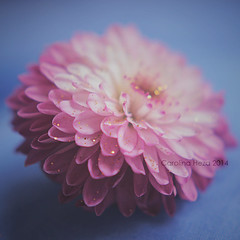 untitled (carolinahdzz) Tags: pink blue light white blur flower macro nature closeup glitter canon vintage petals soft dof purple bokeh filter delicate