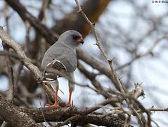 DSC_7698 (mnreddy9) Tags: kenya easternchantinggoshawk africanbirds lakebaringo