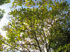 Juglans regia, Walnoot of okkernoot (ekenitr) Tags: tree bomen herfst boom walnoot juglandaceae juglansregia walnussbaum noyercommun okkernoot commonwalnut ekenitr