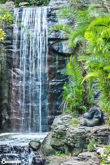 Sliverback Gorilla Sleeping (Kingdom Camera) Tags: mexico cabo cabosanlucas