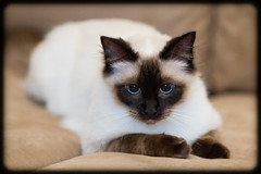 Milo Chilling Out (Craig Jewell Photography) Tags: cute male cat milo fluffy f25 ragdoll 135mm 2014 chocolatepoint 0ev iso2000 ef135mmf2lusm sec canoneos1dmarkiv filename20141012222246x0k0917cr2