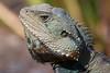 IMG_9766 (stewartk1970) Tags: canberra australia act wildlife iguana lizard