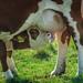 Drinking Calf; Trinkendes Kalb (3:2)