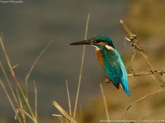 Common_kingfisher_01 (Jyotiprasads) Tags: birds commonbirds birdsofodisha odishabirds