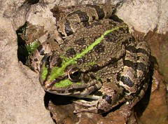 100_8760 (Cassiope2010) Tags: nature grenouille cvennes