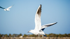 Seagull (Khalid M.Mohy) Tags: sky bird nature canon seagull uae abudhabi breakingwave eos550d