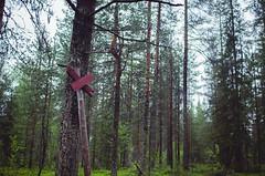 (thisisforlovers) Tags: trees light sunset wild naturaleza tree verde green luz nature forest finland atardecer woods rboles bosque lapland rbol puestadesol midnightsun finlandia laponia salvaje finnishlapland naturalezasalvaje laponiafinlandesa