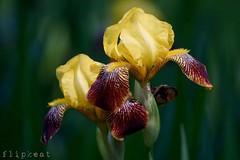 Love Beside Me (flipkeat) Tags: flowers iris fall nature yellow closeup beard flora pretty different arm sony awesome style fragrant tall standard mississauga bearded burgandy a500 rajh