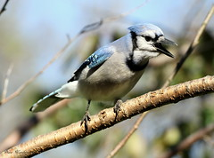 The Town Crier (Diane Marshman) Tags: blue white black tree bird fall nature face neck back wings branch breast head pennsylvania wildlife chest tail gray beak feathers large crest bluejay ring belly pa upper underneath collar northeast