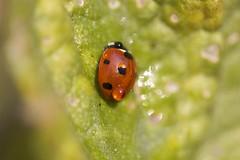 Ladybug (kellimatthews) Tags: macro waterdrop ladybug