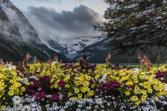 Saying goodbye to Summer . (Josiane .Away) Tags: flowers summer mountain canada nature landscape nationalpark nikon banff lakelouise victoriaglacier