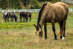 Horse (MikeWeinhold) Tags: horse fall zoom depthoffield tyngsborough