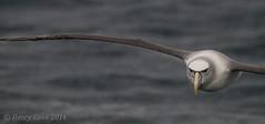 shy albatross-6544 (Henry.Cook) Tags: ocean sea nature birds amazing wildlife birding shy tasmania seabirds albatross pelagic thalassarchecauta