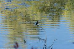 DSC_7011 (GottertR) Tags: natur khkopf eisvogel