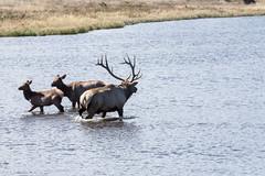 IMG_0184a (markbyzewski) Tags: colorado ugly elk estespark lakeestes