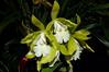 Epicattleya Siam Jade 'AVO' (PiotrM) Tags: orchid flower jade siam avo epicattleya