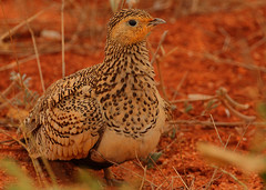 Chestnut-bellied Sandgrouse female (Rainbirder) Tags: kenya tsavoeast chestnutbelliedsandgrouse rainbirder pteroclesexustu