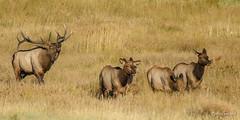 Unrequited Serenade (craig goettsch) Tags: nature nikon wildlife ngc rmnp elk rockymountainnationalpark rut bugling d810