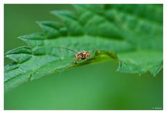 (Jurgen Delannoo) Tags: macro nature insect belgium belgique belgi natuur westvlaanderen insekt belgien macrophotography macrofotografie blankaart deblankaart jurgendelannoo