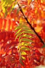 Rhus 6 (gripspix (OFF)) Tags: leaves herbst autumncolors bltter staghornsumac autumnseries rhushirta herbstfrbung essigbaum 20141004