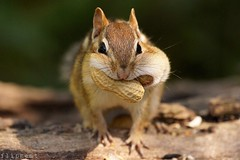 Bountiful (flipkeat) Tags: thanksgiving portrait funnyface cute nature animal closeup mammal rodent furry funny different unique wildlife sony canadian chipmunk tiny creature mississauga eastern alvin chippy bountiful tamias a500 hackee
