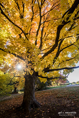 Sunny Tree (gvonwahlde) Tags: autumn sun tree fall leaves minnesota yellow canon landscape maple arboretum mn starburst 60d vonwahlde