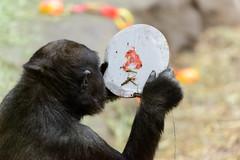 Where'd the Cake Go? (Eric Kilby) Tags: birthday park boston zoo franklin gorilla 4th