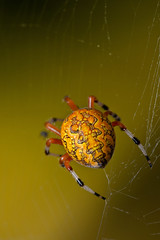 Marbled Orb Weaver (Lopshire Photography) Tags: macro nature spider nikon arachnid sigma frio entomology macrophotography d4 3leggedthing sigma50th orbis orbisrgallery orbisgallery orbisrf gearupwithsigma