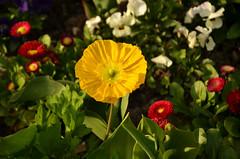 Mainau (mamue81) Tags: flower color birds rose duck swan ducks tulip blume ente bodensee schwan konstanz constance tulpe mainau mohn lakeconstance