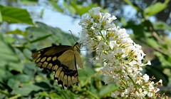 Butterfly (Adventurer Dustin Holmes) Tags: flower nature butterfly whiteflower midwest missouri ozarks swallowtail easterntigerswallowtail tigerswallowtail 2014 billrostonnativebutterflyhouse billrostonbutterflyhouse