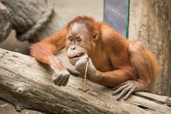 2014-09-13-13h10m57.BL7R4690 (A.J. Haverkamp) Tags: germany zoo leipzig orangutan dierentuin orangoetan httpwwwzooleipzigde canonef500mmf4lisiiusmlens