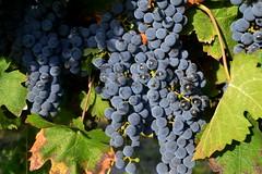 Ull de Llebre, Alt Peneds. (Angela Llop) Tags: spain wine eu catalonia catalunya grape penedes ram